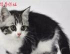 加菲猫 英短 美短 折耳猫 猫舍直销 品相好 - 面议