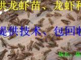 龙虾种,龙虾苗价格
