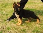 长沙哪有黑背犬卖 长沙黑背犬价格 长沙黑背犬多少钱