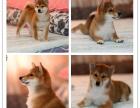 正宗日本纯种柴犬 纯血双冠日系柴犬 健康合同保障