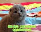 家养出售包子脸大眼睛折耳蓝猫 健康有保障 会用猫砂