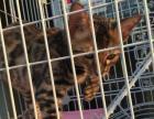 出售一只小公豹猫价格面议