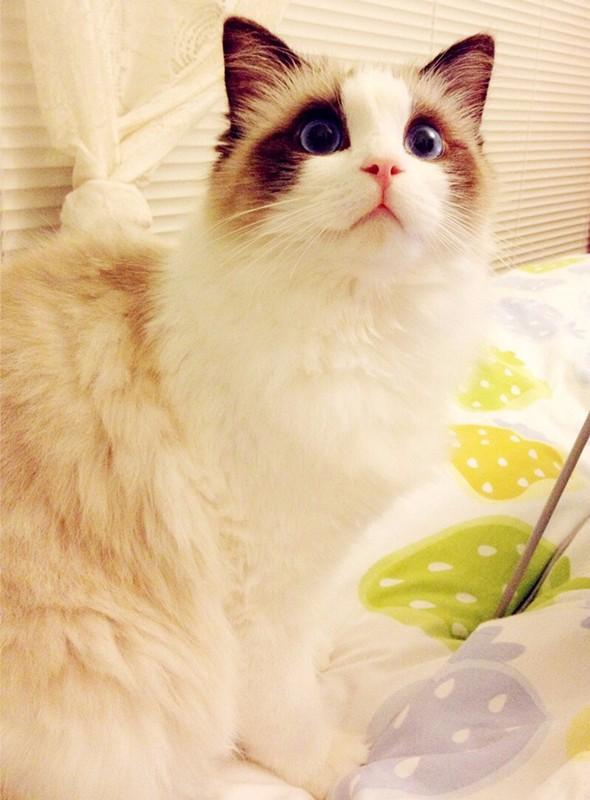 青岛哪里卖布偶猫 青岛布偶猫的价格是多少 青岛纯种布偶多少钱