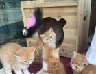 出售加菲猫幼猫