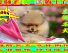 博美 专业品质 盛辉名犬 保健康 带血统证
