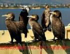 哪里出售鱼鹰鸬鹚