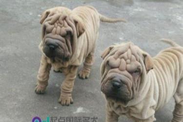 an.com 沙皮犬幼犬出售血统纯正健康保证皱皮沙皮狗可上门看狗