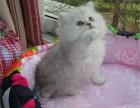 成都买猫去哪里成都买金吉拉成都哪里有正规猫舍