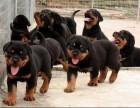 护卫犬罗威那幼犬 凶猛忠诚 纯种健康保障