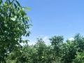 杏花山,紧邻樱桃沟 土地 50000平米,挂果核桃园