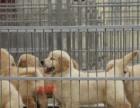 不卖病狗—不卖串 健康保终身 金毛幼犬,多只可选