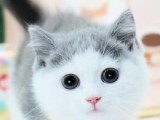 曼基康矮脚猫纯种幼猫英短蓝白短腿猫幼崽猫咪纯种猫咪活物曼基康