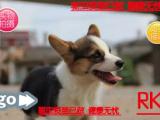 热销中犬舍专业繁殖 两色三色柯基 英国女王犬 高端宠