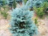 美国蓝杉小苗 辽宁蓝杉种植基地 蓝杉苗价格 美国科罗拉多蓝杉