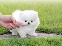 犬舍繁殖博美价格 博美多少钱一只 哪里有卖博美