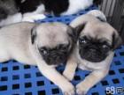 钻石犬舍出售巴哥犬纯种可爱巴哥幼犬公母均有上门挑选