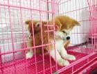 精品秋田犬包纯种保健康签协议出售全国可飞可上门