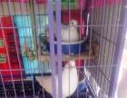 鸽子白羽王种鸽出售