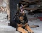 狗市可以买到纯种德国牧羊犬黑背吗 多少钱一只