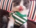 出售各种精品可爱猫咪 健康家养