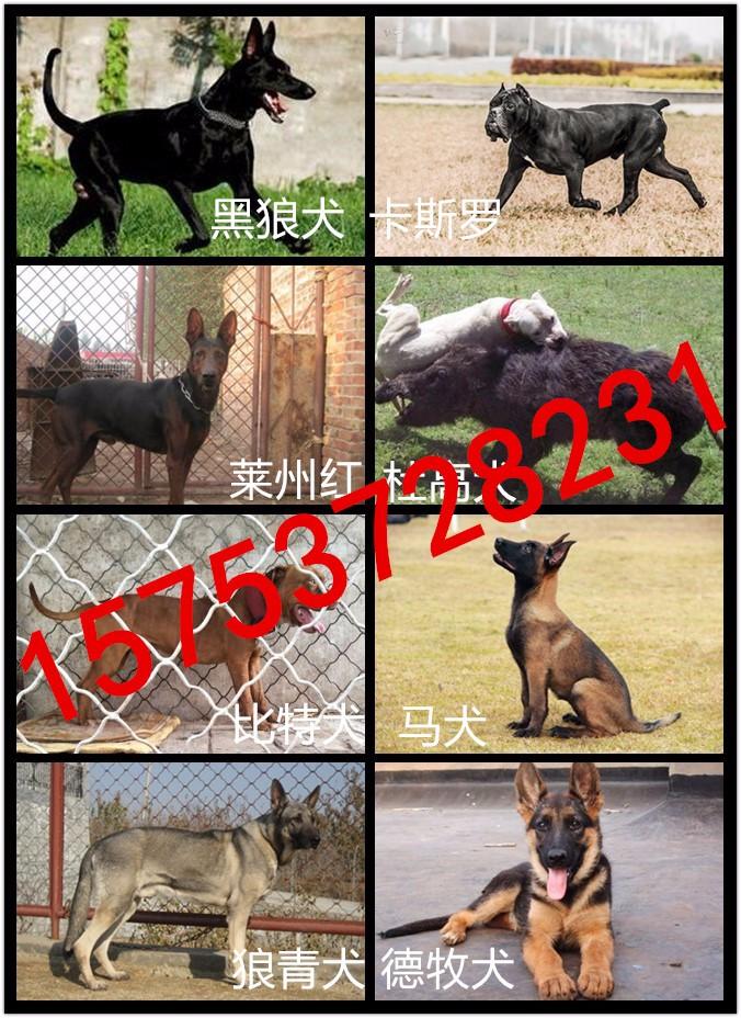 常年出售各种名犬猛犬幼犬,护卫犬,猎犬等公母均有,健康有保障