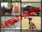 常年出售各种护卫犬,猎犬,猛犬幼犬,公母均有,欢迎来访选购