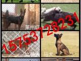凌宇犬业常年出售杜高,黑狼犬,比特,马犬,德牧等欢迎来访选购