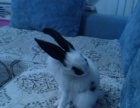 半年大的大白兔,非常可爱,连豪华宠物笼子,忍痛便宜转让。