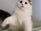 纯种色情直播  漂亮可爱温顺 苏格兰折耳猫