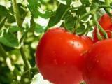 水果采摘柿子珍珠果圣女果红心火龙果采摘