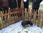 上海闵行区荷兰猪包租-小香猪转租-宠物猪出租-广告电影拍摄