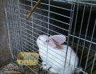 新西兰肉兔,幼兔批发