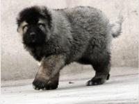 重庆犬舍出售 高大威猛 骨架完美的高加索护卫犬 保证纯种健康