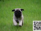 巴哥犬纯正健康出售-幼犬出售,当地可以上门挑选