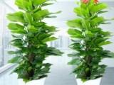 发财树绿植花卉盆景-苏州花卉绿植盆景苗圃养殖基地销售配送