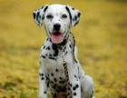 自家大狗生了一窝斑点狗可以上门看狗父母