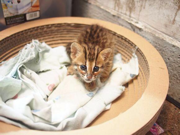 大连哪里有孟加拉豹猫卖 野性外表温柔家猫性格 时尚 漂亮