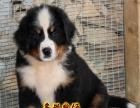 瑞士伯恩山犬,疫苗证书齐全,现货伯恩山幼犬出售