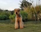 纯种万能梗幼犬出售 纯种健康 上门挑选 可刷卡