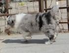 高品质 纯血统 帅气十足边境牧羊犬 保质量健康