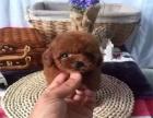 爱宠人的福音, 这里有您的专属爱宠,纯种健康泰迪幼犬出售