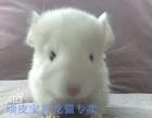 长沙顽皮宝贝常年批发零售各种颜色小龙猫,自家繁殖