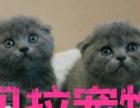 【贝拉宠物】全市最低蓝猫暹罗猫金吉拉猫豹猫,请比价