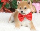 重庆里出售柴犬 重庆哪家宠物店信誉好
