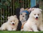 重庆精品幼犬基地出售高品质萨摩耶纯种包活 可协议