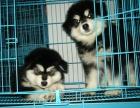 如此畅销 难以低调 阿拉斯加幼犬不忽悠的品质