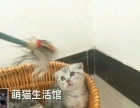 山西太原萌猫生活馆--苏格兰折耳猫找新家