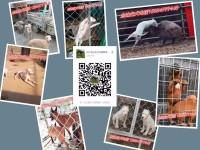自家大狗繁殖的马犬,黑红马3个月疫苗齐全喜欢的朋友联系