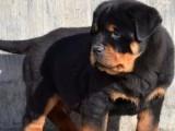 北京国泰宠物出售忠诚护卫警犬罗威纳犬多少钱纯种罗威纳多少钱
