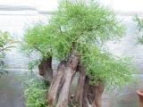 各类荆轲,黄栌,梅花,榆树,水杉,柏树等盆景出售